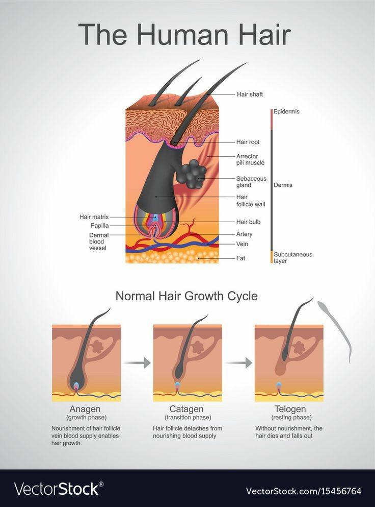 Structura firului de păr 3